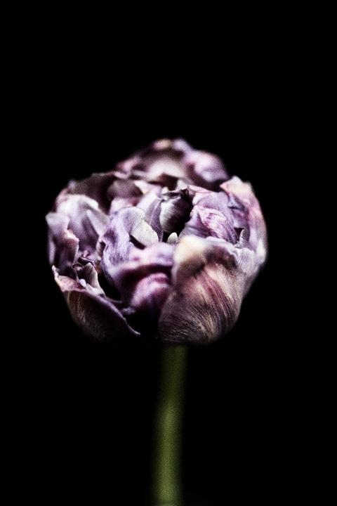 tirage tulipe .jpg